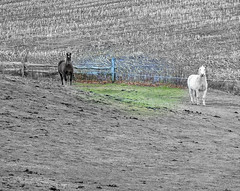 .... (Amiela40) Tags: horse field countryside opposite libert campagne whitehorse blackhorse champ chevaux chevalnoir chevalblanc contraire oppos