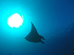 Manta Ray near Moofushi (mr-mojo-risin) Tags: ocean sea water ray underwater wildlife surreal scuba diving elegant maldives manta mantaray moofushi
