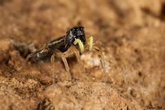 IMG_6773 Yvelines - Heliophanus cupreus (fabianvol) Tags: portrait france macro spider arachnid araa francia jumpingspider araigne arachnida arachnide saltique