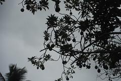 Avocado heaven - Dominica 2 (hedonism1) Tags: mackie hedonism svhedonism