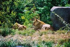 The Lion King (Jrmy C. (Kodje)) Tags: paris france film canon silver zoo cub feline kodak iso400 lion f1 bigcat 400 l hunter portra lioness lioncub lionking vincennes fd flin f35 2035mm parczoologique lionne canonf1old lionceau fd80200mmf4l