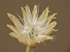 Adenophyllum cancellatum(Cass.) Villareal (carlos mancilla) Tags: seeds semillas raynoxdcr250 olympussp570uz adenophyllumcancellatumcassvillareal