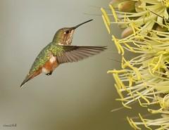 RUFOUS (sea25bill) Tags: california morning food sun green bird nature animal hummingbird hover rufous agaveplant