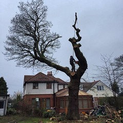 "Picture from yesterday's oak dismantle, climbing for 'stump removal services - Coventry' #wardenstreecare <a style=""margin-left:10px; font-size:0.8em;"" href=""http://www.flickr.com/photos/137723818@N08/24242230020/"" target=""_blank"">@flickr</a>"