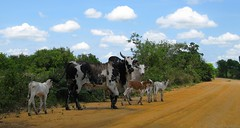 A family on the move... (http://rgamboias.birdsby.me/ on vacation) Tags: brazil sky animals brasil clouds cattle cows cu ciel cielo nubes dirtroad nuages animais matogrosso pantanal vacas nvens gado landroad transpantanalhighway rosagambias rodoviatranspantaneira afamilyonthemove