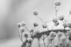 Fading Flowers (Captured Heart) Tags: blackandwhite fading babysbreath driedbabysbreath