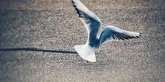 Wings (Jon-F, themachine) Tags: seagulls bird birds animal animals japan asian flying moving wings movement asia action seagull flight olympus nagoya  nippon japo oriental dslr orient flapping minatoku fareast  aichi nihon  omd   chubu  japn  2015   portofnagoya m43  mft  nagoyaport    minatoward landoftherisingsun mirrorless  chuubu    micro43 microfourthirds  ft xapn jonfu  mirrorlesscamera   em5ii em5markii