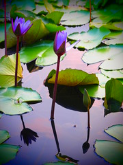 Water Lilies (elenaleong) Tags: singapore waterlilies lilypond mbs artsciencemuseum