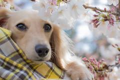 IMG_0538 (yukichinoko) Tags: dog dachshund 桜 sakura 犬 kinako ダックスフント ダックスフンド きなこ