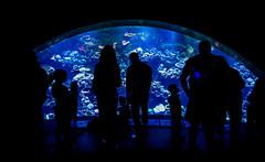 Aquarium of the Pacific - Neon Night (www.WeAreHum.org) Tags: ocean sea fish beach night star aquarium long neon jellyfish pacific starfish scuba creatures otters learn