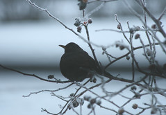 IMG_25742 (IdaAsplund) Tags: winter snow bird birds animal animals season vinter sn blackbird fglar djur fgel commonblackbird koltrast rstid