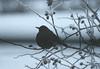 IMG_25742 (IdaAsplund) Tags: winter snow bird birds animal animals season vinter snö blackbird fåglar djur fågel commonblackbird koltrast årstid