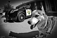 _DSC0067 (classic77) Tags: california dog highway husky canine sheriff siberian cruiser patrol k9 sheriffs