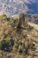 Bearded Vulture in flight - Catalan Pyrenees - Spain_S4E8055 (fveronesi1) Tags: birds spain europe catalonia beardedvulture 29hawkseagleskites