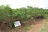Cassava breeding field at IITA-Ibadan (IITA Image Library) Tags: seed breeding cassava manihotesculenta multiplicationseeds
