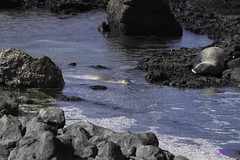 KaienaPoint012216-6888 (lsjacobs) Tags: kaena monkseal