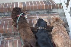 The Walk Is Over (Tobyotter) Tags: frank dachshund link jimmydean