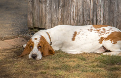 IMG_6161 (BFDfoster_dad) Tags: hound basset