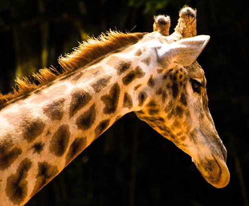 Visita ao Zoológico de São Paulo, Brasil - Visit the Zoo Sao Paulo, Brazil - Girafa (Giraffa camelopardalis)