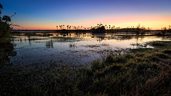 Morning in the marsh (Ed Rosack) Tags: sky usa tree water grass sunrise landscape dawn orlando florida palm clear swamp marsh flowersplants centralflorida orlandowetlandspark edrosack