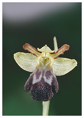 ophrys vasconica (luka116) Tags: 2005 france fleur aude ophrys orchidaces ophrysvasconica pechbugarach