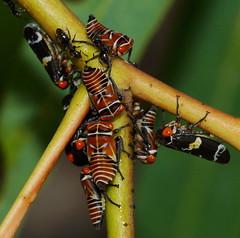 All together now (ron_n_beths pics) Tags: westernaustralia hemiptera treehoppers perthurbanbushland