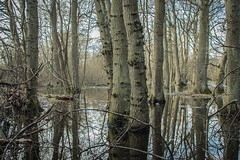 Marshland reflections (KazzT2012) Tags: trees reflections landscape forest tree chilterns thechilterns