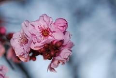plum_20160213_12 (faeparsons) Tags: flowers blossoms plumblossoms