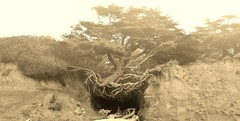 Tree of Life (RWGrennan) Tags: ocean life park travel panorama tree beach monochrome fog sepia wow mono washington sand nikon nw pacific northwest ryan roots national cave olympic root brilliant resilient bluff kalaloch grennan d5100 rwgrennan rgrennan