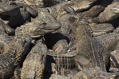 (DFChurch) Tags: rescue al alley reptile alabama alligator summerdale