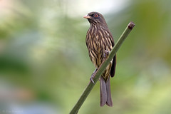 Cigua palmera (Dulus dominicus) - Palmchat (Dax M. Roman E.) Tags: palmchat dulusdominicus ciguapalmera daxroman