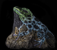 Blue Poison Dart Frog On The Rocks (Bill Gracey) Tags: art colors rock blackbackground colorful maria crafts crafty softbox reflector rockpainting bluepoisondartfrog filllight directionallight offcameraflash yongnuorf603n yn560iii