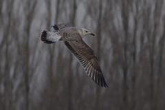 Caspian gull / Larus cachinnans / Pontische meeuw 2cy [B] E318 (Herman Bouman) Tags: b meeuw caspiangull laruscachinnans 2cy pontische e318
