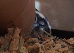 DSCN9785  sleepy Alice (therovingeye) Tags: pets animals gerbil rodents gerbilhabitat
