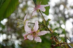 Prunus cerasoides (ragams) Tags: pink flowers wild india nature cherry blossom bokeh sour ooty himalayan prunus cerasoides