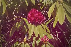 Napoleone fiorito (battista ferrero) Tags: blossom piazzo bi rododendro napoleone pettinengo 6marzo
