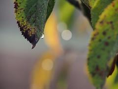 Morgentau (treinwand) Tags: herbst blatt wassertropfen morgentau regentropfen