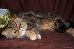 My Exotic friend, 2 (Finn Frode (DK)) Tags: show pet animal cat denmark tabby indoor olympus exotic catshow virum exo exoticshorthair darak fif omdem5 alacocciosccqi ccqi