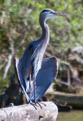SammParkJun15 (1 of 6) (triforfun) Tags: park wild lake bird heron nature water grey state wing beak feather issaquah sammamish