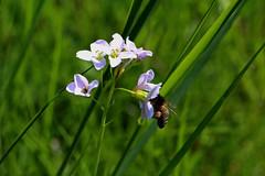 rafz-10042016_14'22 (eduard43) Tags: flower animal tiere flora bee blume biene 2016 cardaminepratensis wiesenschaumkraut rafz