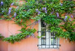 wall of wisteria (Karol Franks) Tags: spring flowering wisteria wistaria sopasadena socal losangeles wall window garden annual bloom plant vine california ©karolfranks okarolyahoocom