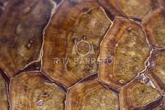 Tracaj (Rita Barreto) Tags: textura brasil fauna natureza matogrosso centrooeste guadoce podocnemisunifilis tracaj cgadodaamaznia carapaaabaulada cascodotracaj