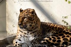 Amoerluipaard - Panthera pardus Orientalis / amurensis - Amur leopard (MrTDiddy) Tags: cat mammal zoo big kat feline leopard bigcat antwerp antwerpen zooantwerpen amur grote luipaard panthera pardus zoogdier orientalis amurensis amoer grotekat amoerluipaard