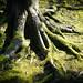 Rambling roots