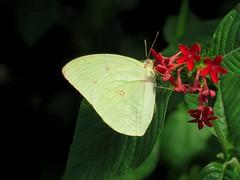 Catopsilia pomona 4 (barryaceae) Tags: house butterfly harbour australia nsw coffs the ausbutterfly