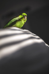 Her Majesty. (ThePhotographersRepublic) Tags: pet colour green bird nature shadows parrot blinds selective parrotlet