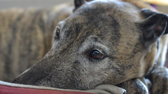 Oh How I Used to Run! (mitchell_dawn) Tags: old dog greyhound elderly tired rest resting remembering lurcher reverie