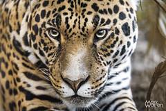 Jaguar, Spirit of the the Jaguar, Chester zoo (warrengreenjelly1) Tags: cats cat bigcat predator bigcats carnivore chesterzoo spiritofthejaguar