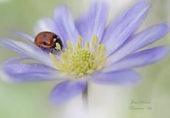Lady Anemone blanda (Jane Dibnah Botanical Art) Tags: nature bug spring flora beetle anemone ladybird floraandfauna selectivefocus macrophotography anemoneblanda sevenspotladybird gardenflora