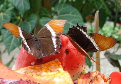 (sftrajan) Tags: butterfly insect colombia papillon botanicgarden mariposa botanicalgarden medellin schmetterling jardnbotnico butterflyhouse  mariposario  jardnbotnicodemedelln jardnbotnicojoaqunantoniouribe botanicalgardenofmedelln medellnbotanicgarden